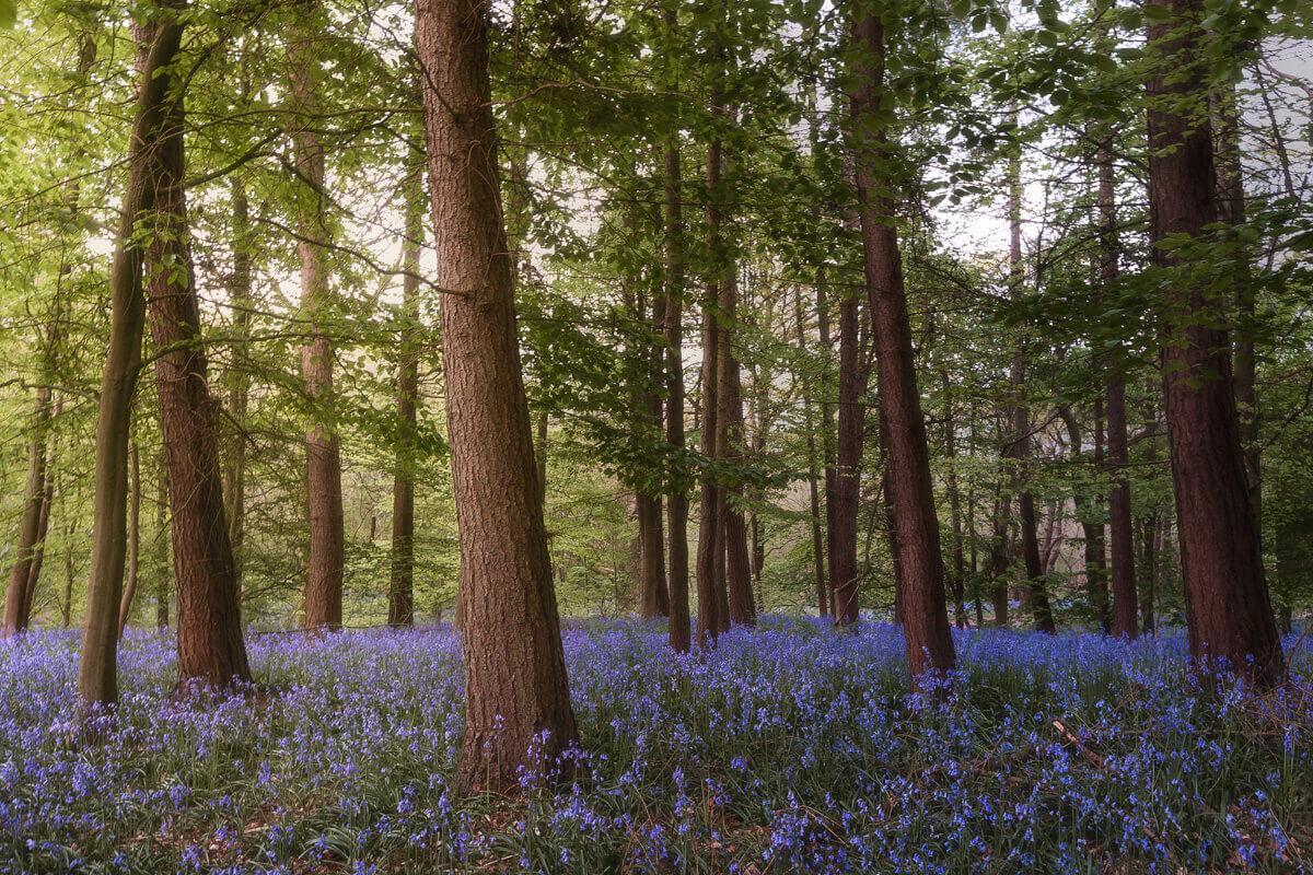 enchanted bluebells fine art photographs yaopey